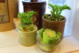 seeking simple in the suburbs how to regrow celery