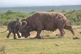 mega2it this fight between a baby elephant and a giant african