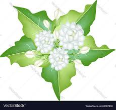 Jasmine Flowers Jasmine Flowers On White Background Royalty Free Vector