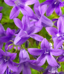 purple flowers purple flower names enlisted with a beautiful photo gallery
