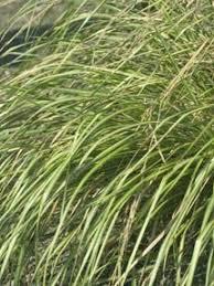 types of ornamental grasses hgtv types of ornamental grass