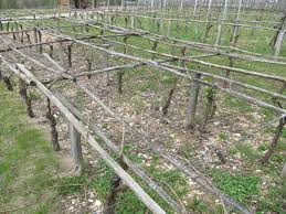 vineyard internship germany vine pruning and other things