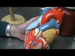 External Heart Anatomy Heart Anatomy Part 1 Youtube