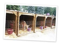 Calf Hutches For Sale Jersey Calves At Kasper Dairy Farm In Owatonna Minn Stay In