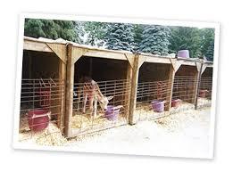 Calf Hutch Tractor Supply Jersey Calves At Kasper Dairy Farm In Owatonna Minn Stay In