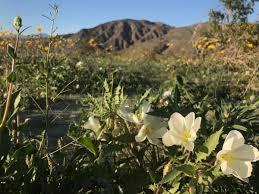 photos wildflower super bloom explodes across the anza borrego