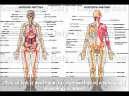 Human Anatomy And Physiology Notes Human Anatomy And Physiology Marieb Free Download Medical