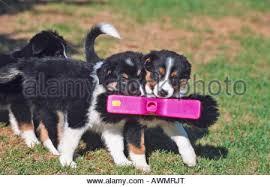 australian shepherd mix breeds mix breed dog whelp australian border border collie x