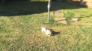 my dog chasing rubber ball attached to clothes line with elastic
