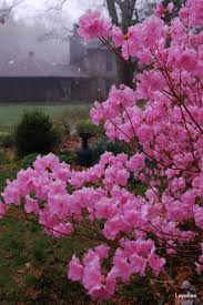 Flowering Shrubs New England - ledge and gardens perennial borders and spring warmth