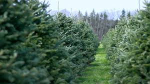 beverly tree farm beverly ma youtube