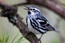 black and white warbler the gilligallou bird store eastern