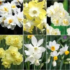 a selection of hybrid narcissus from the center for urban