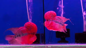 king of flowerhorn fish at kolathur fish u0026 pet market fish