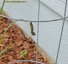 Diseases In Plants And Animals - 10 common monarch diseases parasites caterpillar killers
