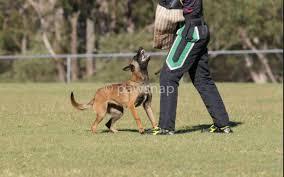 belgian shepherd 6 months blaustein elliana