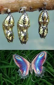 golden cocoon butterfly