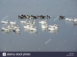flock of ducks swimming in a lake in romania stock photo royalty