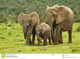 elephant family stock photo image of landscape conservation 19027804