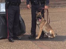 belgian shepherd victoria police department welcomes new k9 officer victoria advocate