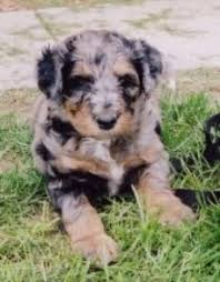 australian shepherd x poodle aussiedoodle dog breed information and pictures