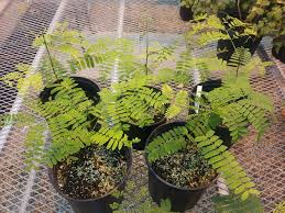 plant zone tree seedlings schizolobium parahybum