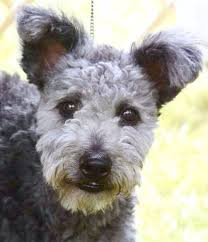 dogs with curly hair and floppy ears 36 best dogs dogs more dogs images on pinterest pumi dog dog