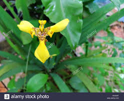 diuris corymbosa common donkey orchid stunning orchids stock photos u0026 stunning orchids stock images alamy