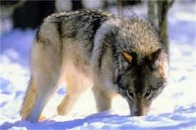 arizona hybrid association 200 wolf names and meanings