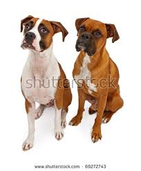 boxer dog female red and white boxer dog stock images royalty free images