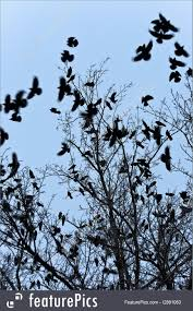 picture of crows flying and sitting on tree
