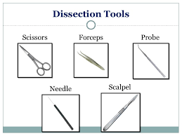 Anatomy And Physiology Study Tools Anatomy U0026 Physiology Lecture Notes Rat Dissection