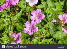 flowers in garden images geranium flowers in domestic garden uk stock photo royalty free