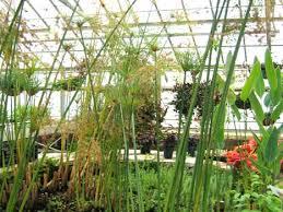Michigan Botanical Gardens Papyrus 101 Papyrus At The Botanical Gardens