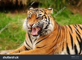 Point Defiance Zoo Lights Coupon by Gorgeous Sumatran Tiger Threatening Opponent By Stock Photo