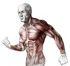 Interactive Muscle Anatomy Human Muscle Anatomy Drawing U2013 Cultua Info