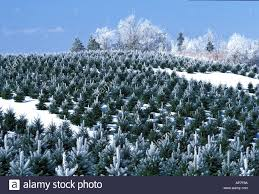 christmas tree farm in canada with frost on trees stock photo