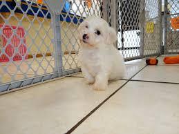 pomeranian x bichon frise sale bichon frise puppies dogs for sale in denver colorado co