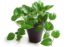 Green Plants Did You Know Why We Call This Plant As U0027money Plant U0027 Blog