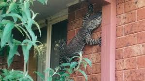 Seeking Lizard Cast Now That S A Goanna The Courier