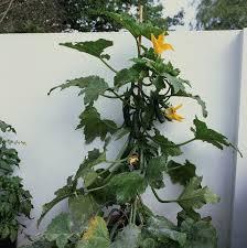 grow climbing zucchini u0027black forest u0027 in a small space