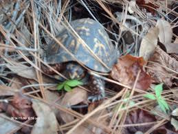 box turtles hibernate in shallow burrows georgiabeforepeople