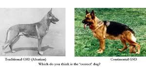 belgian sheepdog breeders uk petition the uk kennel club split the german shepherd dog breed