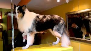 sheltie x australian shepherd 7 minute rough collie contour trim youtube