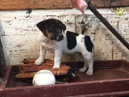 bichon frise jack russell for sale gabby jack russell terrier puppy for sale in selinsgrove pa
