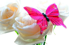 pink butterfly with white roses on white stock photo colourbox