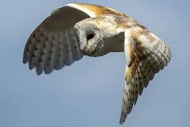 Barn Owl Sounds 20 Fun Facts About Owls Bird Trivia