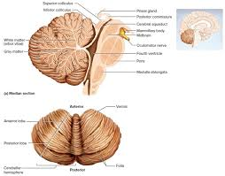 cerebellum anatomy and function image collections human anatomy