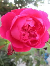 hd free rose flower downloads wallpaper webextensionline