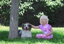 owning a australian shepherd training tips for an australian shepherd pets owning an